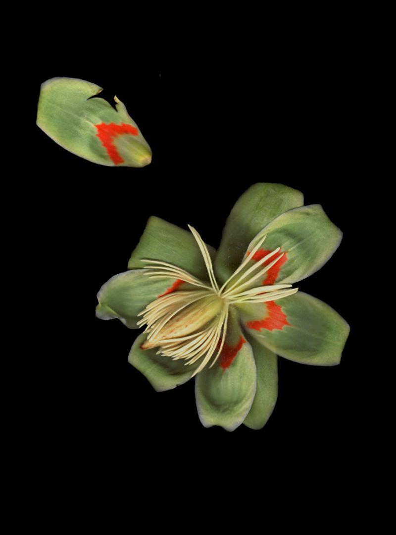 Poplar flower copy